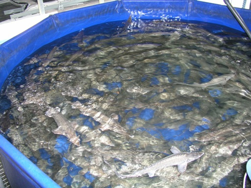 Round fish tanks in the low-temperature part where fish is getting ready to produce caviar