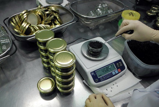Process of packaging caviar into cans